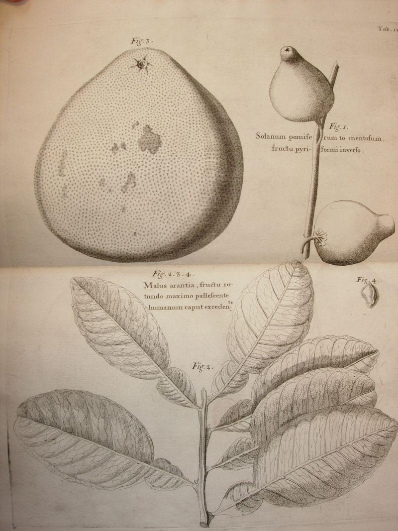 Botanical Illus Sloane