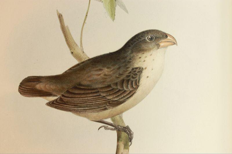 Beagle zoology (birds)