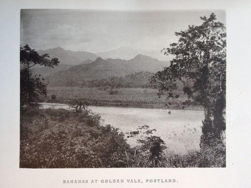 Bananas (Golden Vale Jamaica)