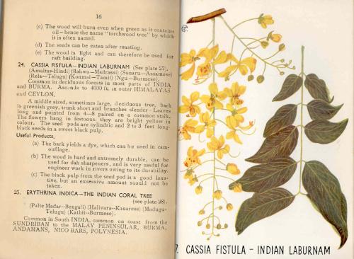 Picture and description of Cassia Fistula - Indian Laburnam