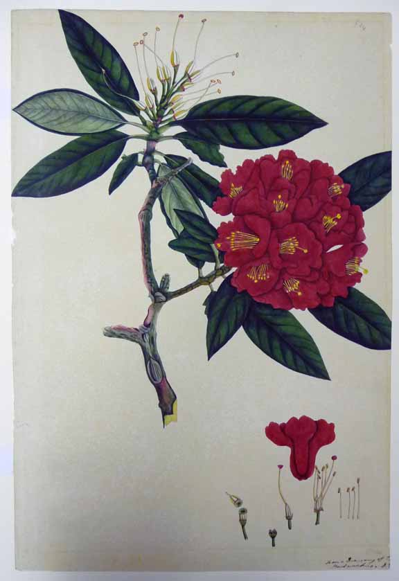 Rhododendron. Unknown Indian artist Calcutta, c. 1798 – 1805 British Library, NHD 16/24