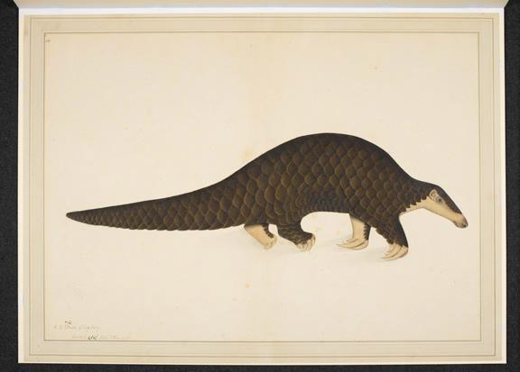 Pangolin or scaly anteater by Shaikh Zain al-Di, Calcutta, 1779 (BL Add.Or.4667)