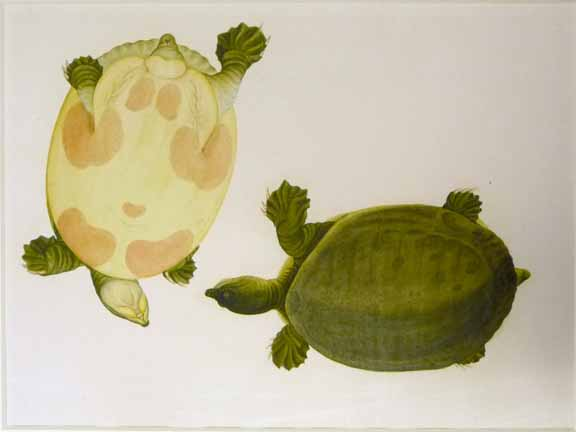 Indian flapshell turtle. Unknown Chinese artist, c. 1798-1803 Watercolour on paper British Library, NHD 44/15