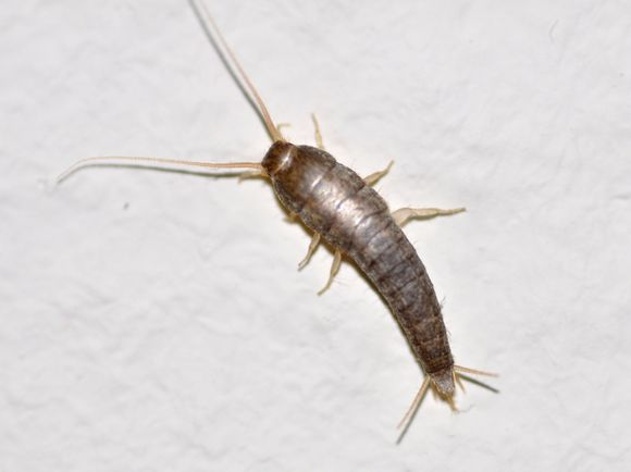 A close-up view of a Silverfish, on a plain grey background. The Insect is on it's legs, resting slightly right of centre in the image, orientating at a 70 degree angle from head to tail. The Silverfish is brownish in colour, with three legs visible either side of the external shell of it's body, which overlaps slightly similar to armour plate. The tail has two 'spikes' that come out on either side at an angle The head is very small, emerging from the carapace with two very long antennae coming out and forward, which are almost the length of the body in size.