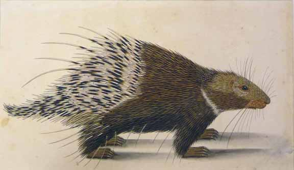 Himalayan porcupine Unknown Indian artist Calcutta, c. 1798-1805 Watercolour on paper British Library, NHD 32/37