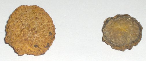 Two nodules of iron pyrites are displayed on a grey unblemished background. The left-hand image shows the pyrite in it natural state. The shape is mostly round, but irregular, due to the surface which is mostly raised bumps. It is mostly a burnt yellow or ochre colour, which some dark blotches on the lower right. The pyrite on the right of the image, has been cut in half to reveal it's properties. The pyrite resembles the look of the underside of a large mushroom with the internal structure having a raised lip around the edge, and recessed lines running into the centre, which appears  yellow in colour. The rest of the pyrite is brown, with dark blotches around the rim.