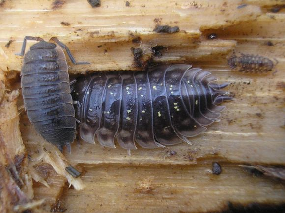 Two types of Woodlice are exposed on a small section of wood, upon which they are busily engaged in devouring. The larger Woodlice is horizontal to the image and appears as dark grey, with flecks of yellow or gold on each section of the exoskeleton whixh consists of ridges not unlike armour plate, that rise over the adjoining plate and flare out at the sides, almost at the underside of the insect. The ridges reduce to a tail of three small soft spikes. Three legs, appearing almost translucent in colour can be seen poking out under the ridges. The other woodlouse is smaller, is facing the top of the image, is smaller and appears a much more dull grey colour. It is also only half the size of the other, which it appears to be climbing over. It has two long antennae that hang down and out, and are rather thick.