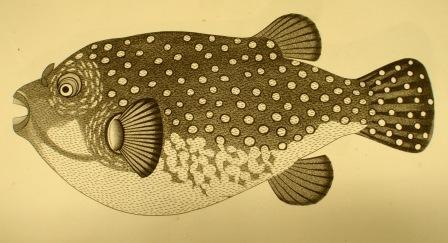 Fish Bondaroo Kappa