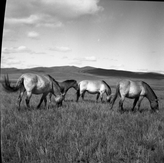 Four wild horses graze on the grassland steppes.