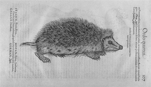 16th-century woodcut of a  hedgehog