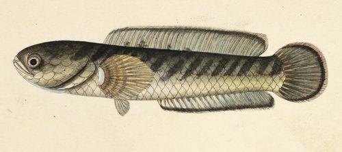 Fish - Ophiocephalus gachua