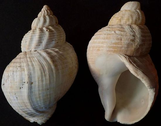 A close up of two sea snail shells on a black background, which share a similar shape to an ice cream cone, if the ice-cream scoops got smaller and smaller. One sea shell faces down, while the other is faced up, showing the cavity for which I sea snail would inhabit. They are both varied colours of sand and warm caramel and pinkie colours. There are small horizontal lines cutting through the shells like a shallow engraving, with larger smooth vertical waves flowing length wise down the shell.