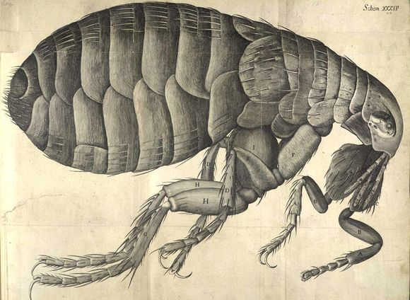 An illustration of a flea in profile. The fleas face is to the right.