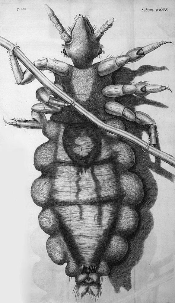Head or body louse from below.