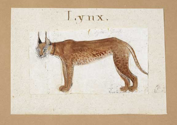 A lynx.  By Gangaram, 1790.  Inscribed above in pencil: Syah gush (Persian for lynx), and on the backing sheet: Lynx.  Water-colour on paper; 70 by 125 mm.  Add.Or.4149
