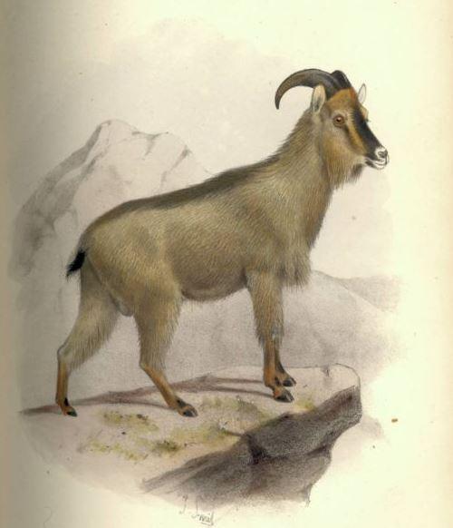 Goat - 'Hemitragus [or Arabitragus] Jayakari'