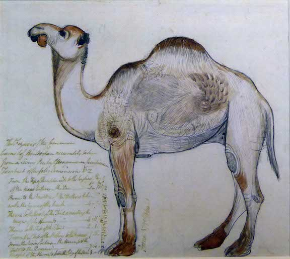 A camel facing.  By Gangaram, 1790.  Inscribed in ink: The Figure of the Common Camel of Hindostan accurately taken from a Living One by Gungaram Chintamun Tombut of the follg. Dimensions [with detailed dimensions].  Poona 1790.  C.W. Malet.  And in nagari: gangaram cimtaman tabat.  Add.Or.4364