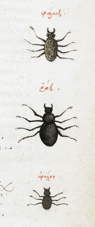 A detail from a 16th-century manuscript, showing an illustration of three spiders.