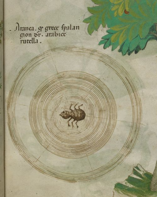 A page from a 15th-century herbal, showing an illustration of a spider in its web.