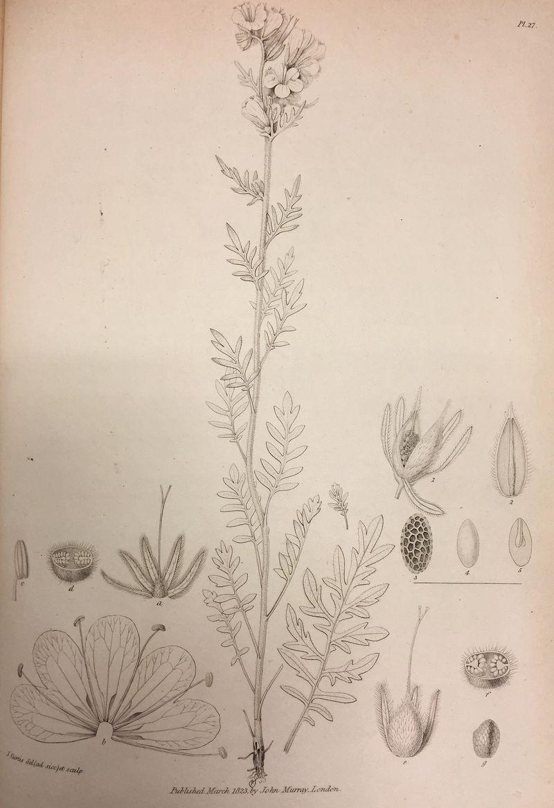 Sabine appendices (flower)