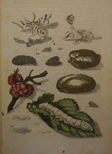 Picture showing the different stages of the silkworm's life