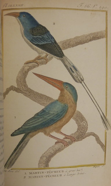 Buffon 1149c Kingfishers 2