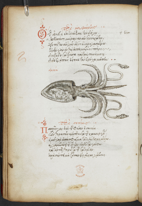 A page from a 16th-century Greek manuscript, showing an illustration of a cuttlefish.