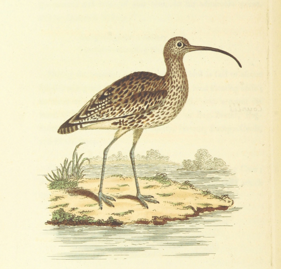 Curlews lament