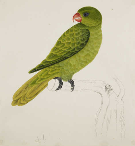 Blue-backed parrot (Tanygnathus sumatranus (Raffles), Psittacidae). Watercolour by J. Briois, Bengkulu, 1824, inscribed in pencil at the bottom in Jawi: bayan. British Library, NHD 47.33.
