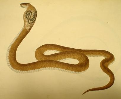 Serpent - Coluber naja