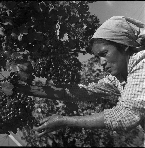 A woman picking grapes.
