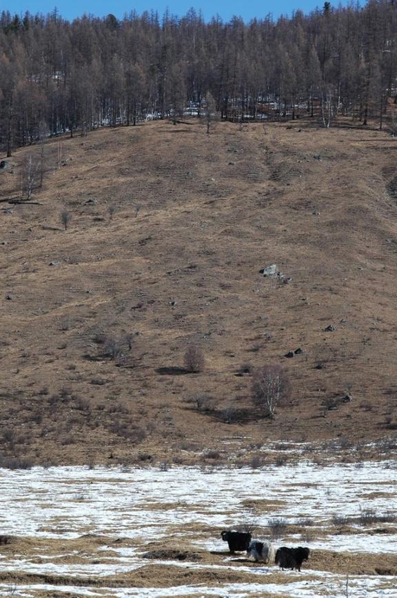 Three long haired yaks graze
