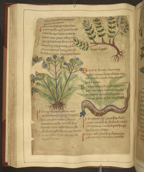 A page from the Old English Herbal, showing illustrations of two plants and a snake.