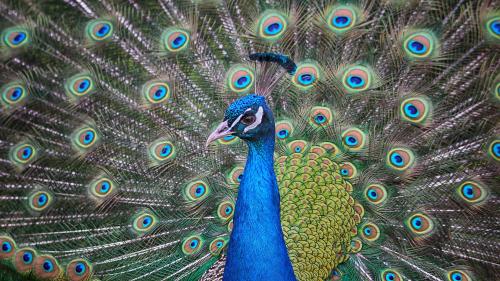 Peacock-2254989_1920
