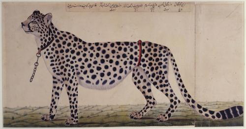 00158-cheetah