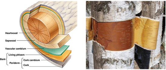 Two images shown, with the first a cut out depiction of the layers of the birch tree, while the second is a photo os a Birch tree showing a section of bark peeled back to expose the wood. The inside of the bark peel is a gold color, while the exterior of the bark is white; all in contrast to the golden brown of the wood itself.