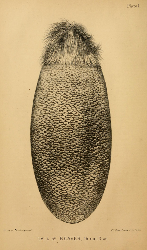 Tail of a Beaver (courtesy of the Biodiversity Heritage Library)