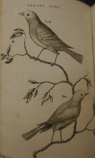 Buffon 1486.d.30 Canaries