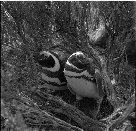 Two penguins sit by undergrowth.