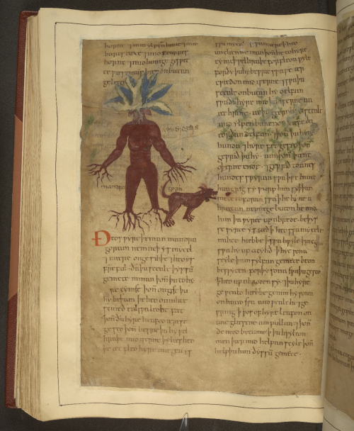 A page from an illustrated Old English herbal, showing an illustration of a mandrake.