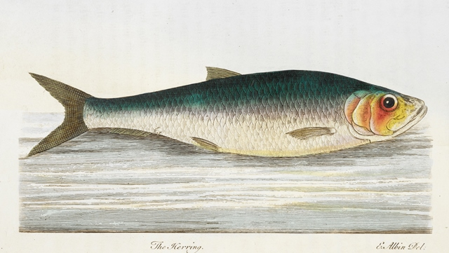 Herring2 RB.31.c.551