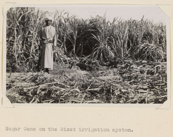 Photograph of man in field of sugar cane, Rizat Irrigation System