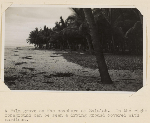 Photograph of a palm grove, Salalah