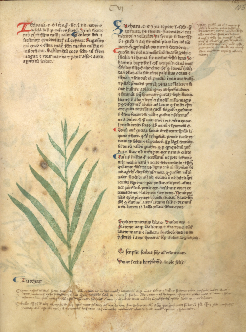 Illustration of a sugarcane plant in a collection of medical texts
