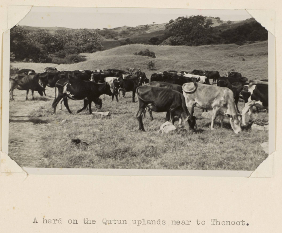 Photograph of a herd of Cattle on the Qutun Uplands