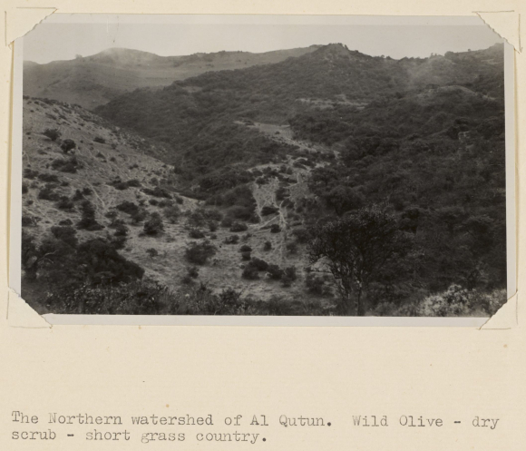 Photograph of the Northern Watershed of Al Qutun - wild olive, dry scrub, short grass