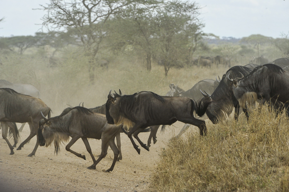Photograph of stampeding wildebeest