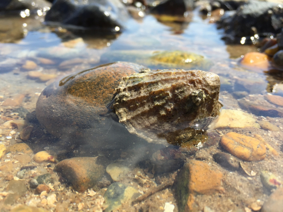 Photograph of a limpet in a rock pool