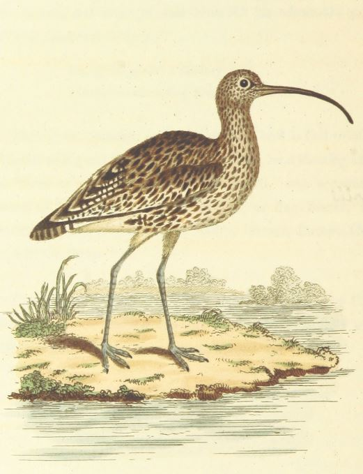 Illustration of a Curlew, published in 1811