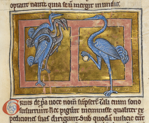 A detail from a medieval manuscript, showing an illustration of a group of sleeping cranes and another on guard holding a rock in its claws.